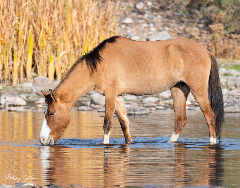 Tonto National Forest and the Salt River wild horse