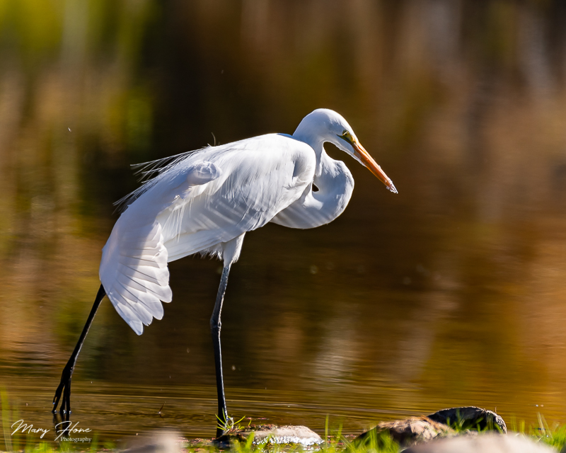 Great Egret Yoga on the Salt River