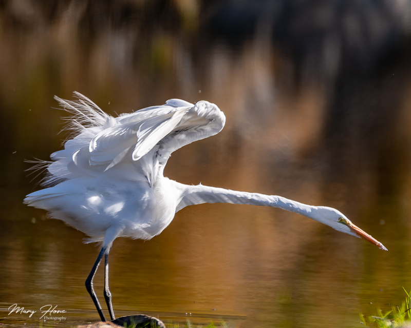 Great Egret on the Salt River