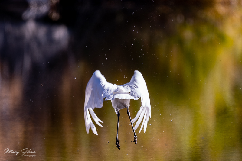 Great Egret flying on the Salt River