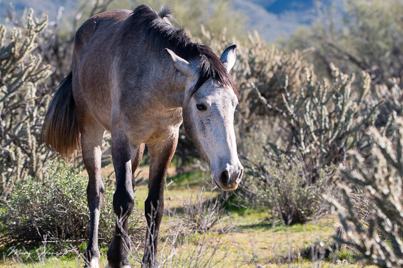 wild horses of the salt river