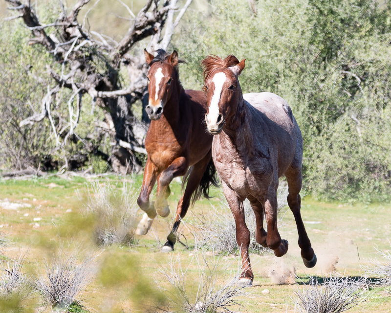 Magnificent Wild Stallions running