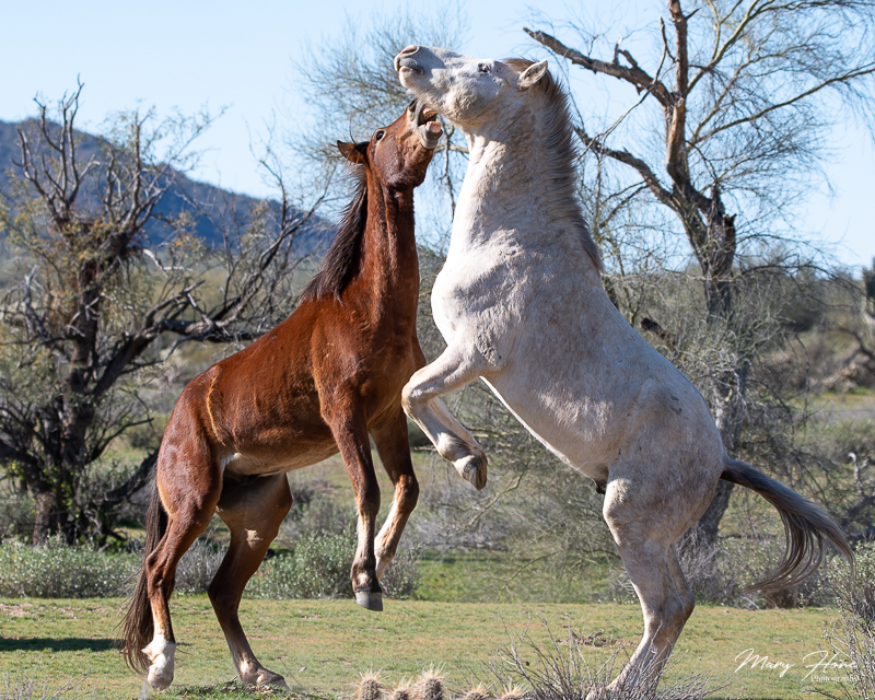 Magnificent Wild Stallion fighting