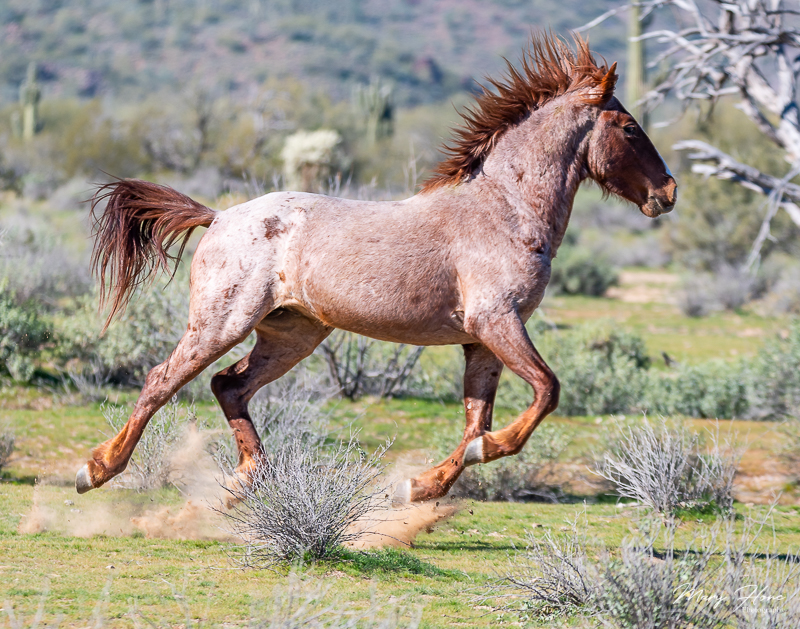 Magnificent Wild Stallion