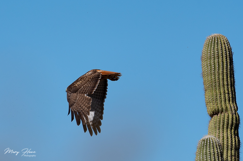 red tailed hawk in flight from saguaro