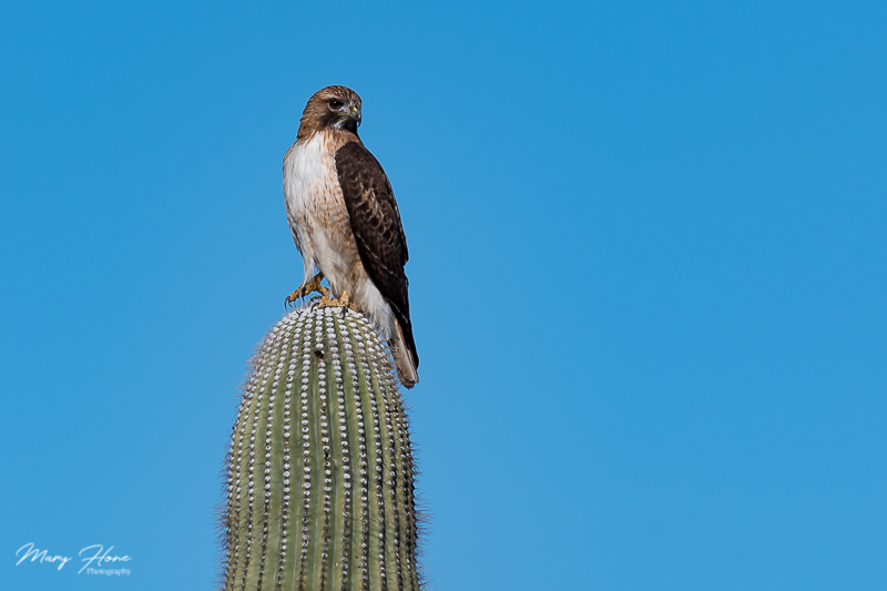 red tailed hawk on saguaro