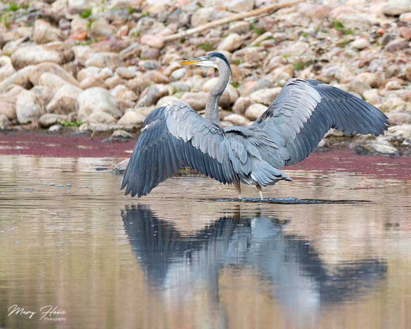 blue heron in the river