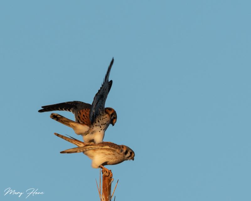 kestrels mating