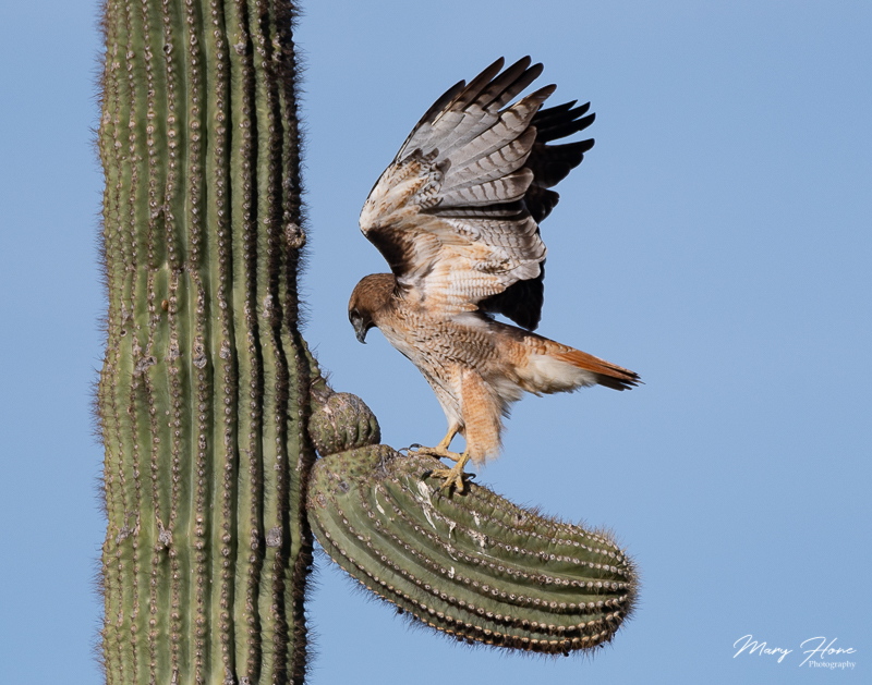 Red tail hawk on a saguaro