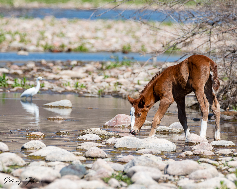 A Wild Horse Tale-Baby's First River Trip