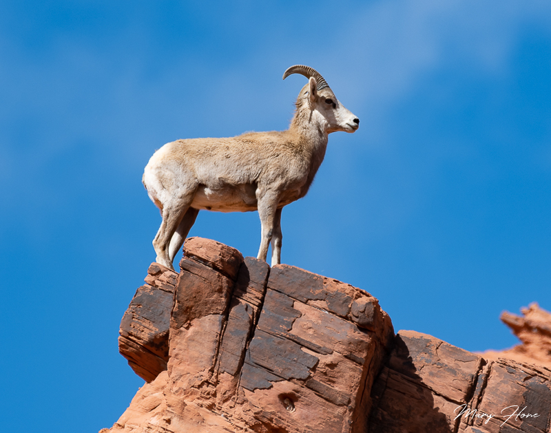 Valley of Fire state park, desert bighorn sheep