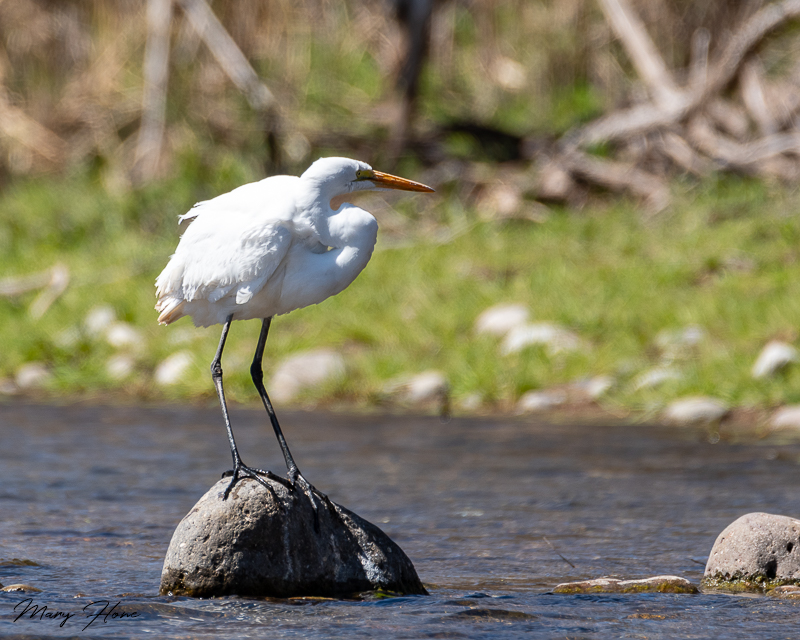 egret in the river