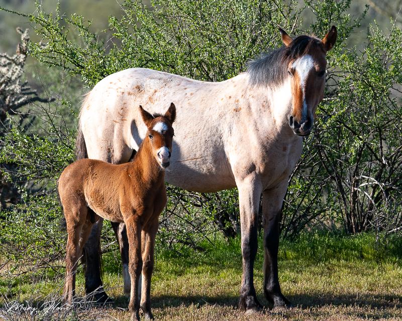 Spring Brings Baby Wild Horses