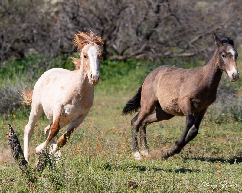 Wild foals playing and running