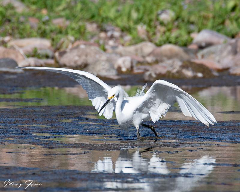 Migratory Birds in Arizona snowy egret