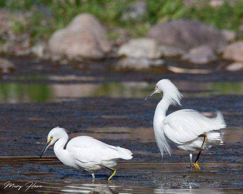 snowy egret Migratory Birds in Arizona
