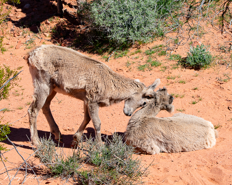Valley of Fire state park, desert bighorn sheep lambs
