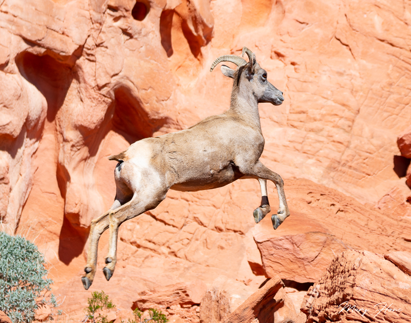 Valley of Fire state park, desert bighorn sheep leaping