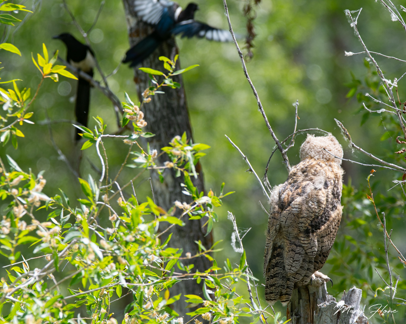 great horned owlet and magpies