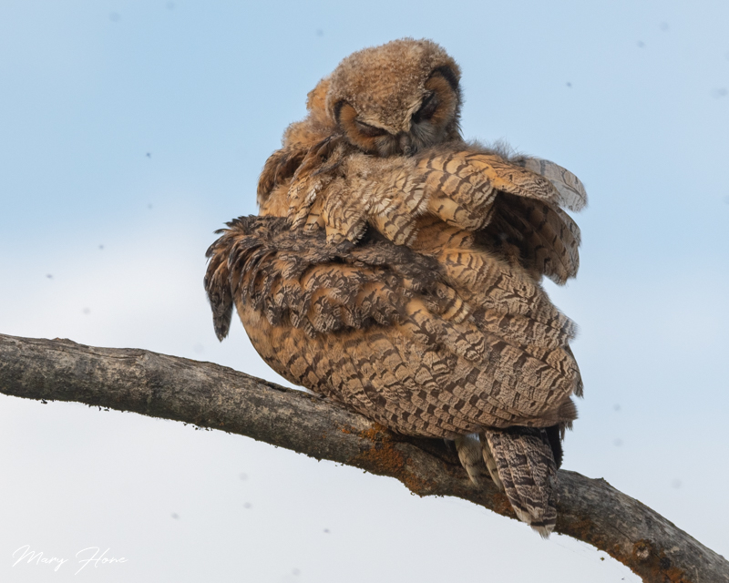 great horned owlet grooming