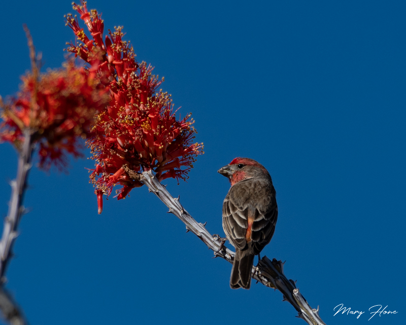 finch and ocotillo bloom