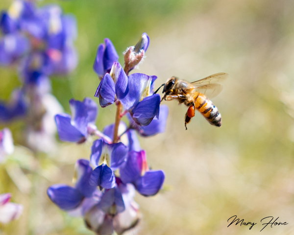 Birds, Bees, and Desert Spring Flowers