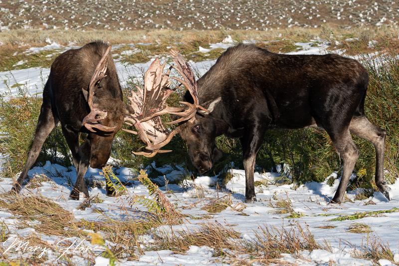 moose sparring