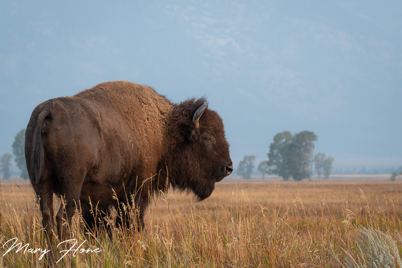 Bison-The Denizens of the Plains