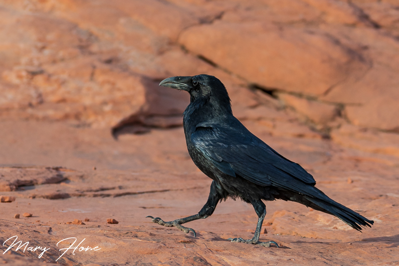 Valley of fire, raven