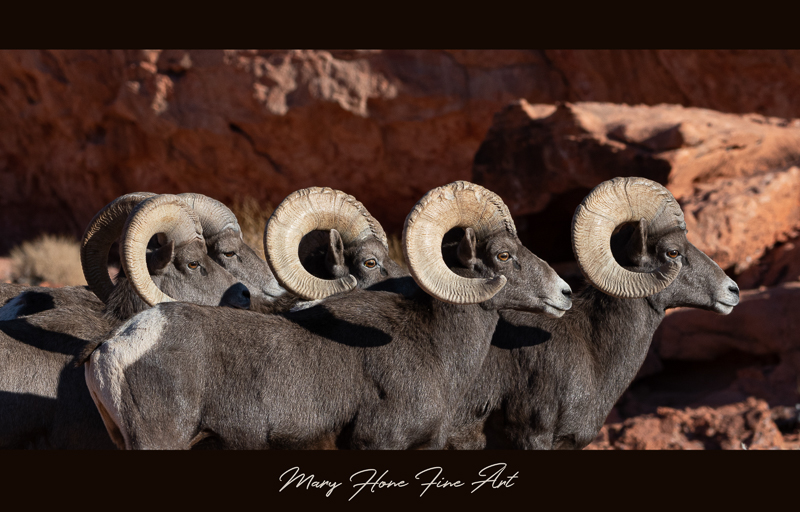 Desert Bighorn Sheep rams in a row
