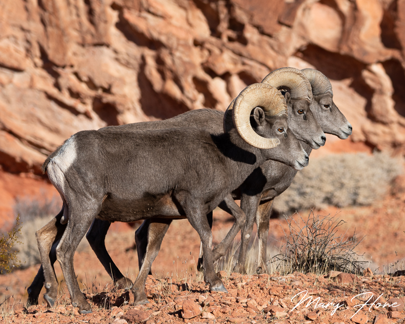 Desert Bighorn Sheep-The Big Boys