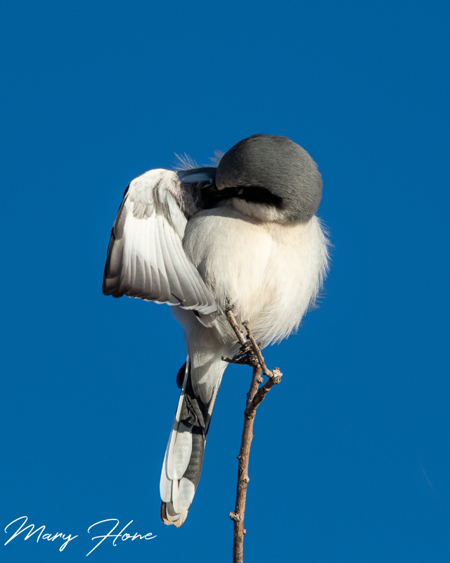 Birds in South East Arizona loggerhead shrike