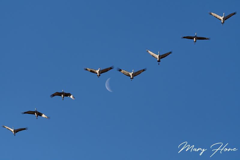 Sandhill Cranes of Southern Arizona