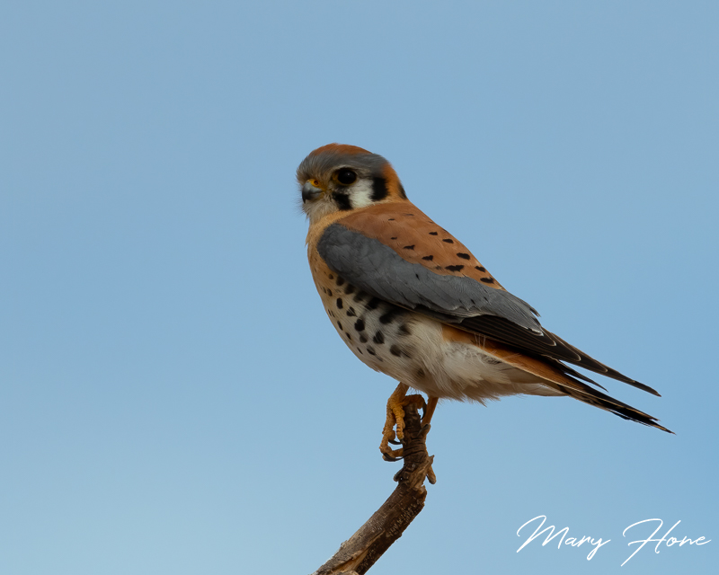 Birds in South East Arizona kestrel